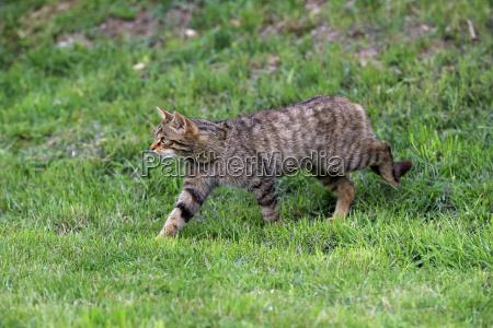 wildcat europaeisches17500