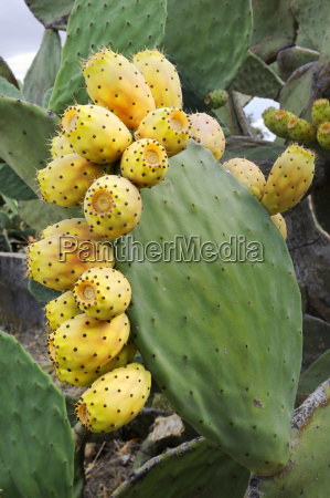 fruits of prickly pear opuntia ficus