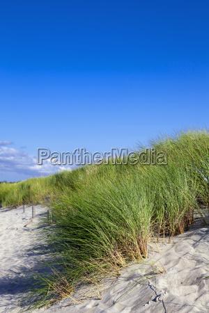 common beach oats or common beach