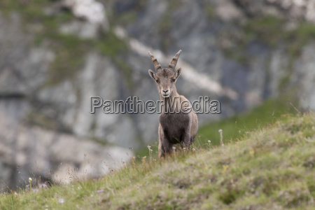 alpensteinbock capra ibex young animal stands