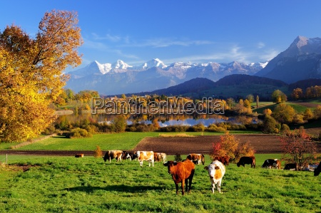 lake uebeschi in autumn with cows