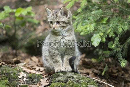 young wildcat felis silvestris gehegezone national