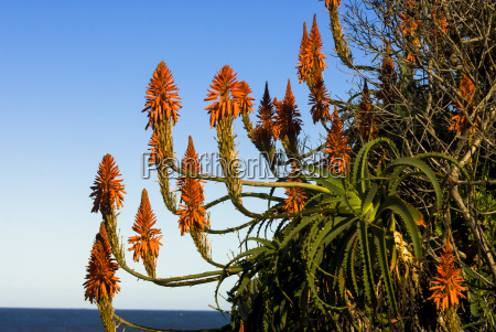 blooming krantz aloe or candelabra aloe