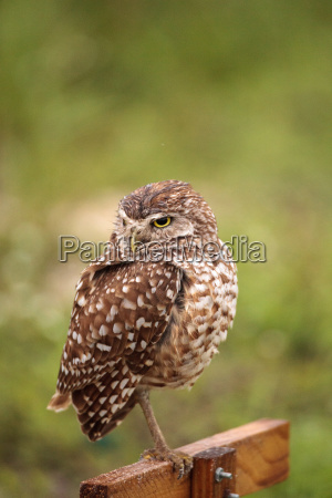 adult burrowing owl athene cunicularia perched