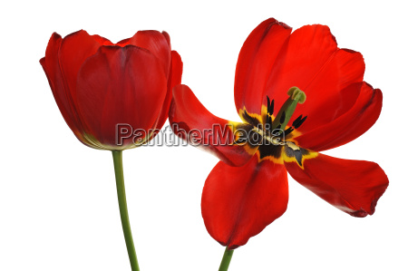 red tulip flowers and fading tulip