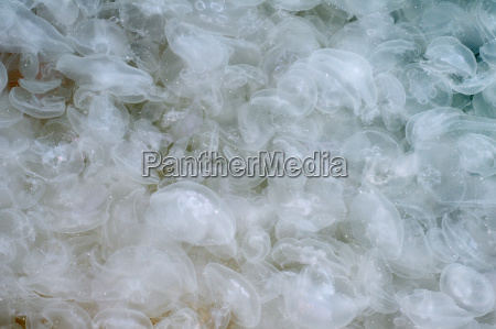 large accumulation of jellyfish aurelia aurelia