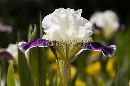 iris iris north rhine westphalia germany