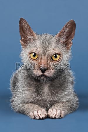 cat werewolf 13813
