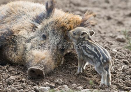 wild boar sus scrofa dormant creek