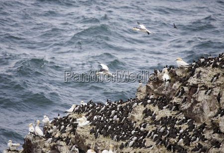 guillemots uria aalge and gannets morus