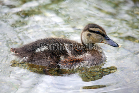 mallard chick anas platyrhynchos is swimming