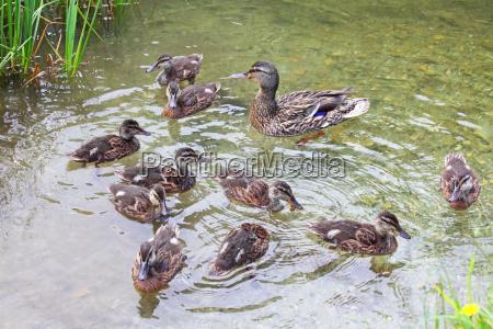 mallard anas platyrhynchos with ducklings swimming