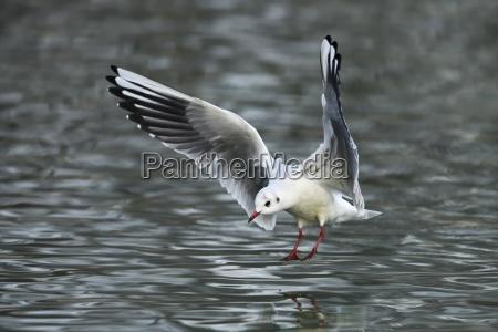lachmowe larus ridibundus approaching over water