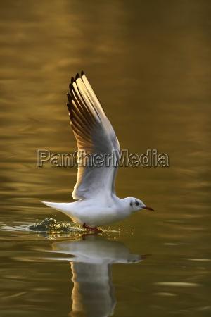 lachmowe larus ridibundus taking off over