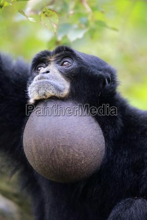 siamang symphalangus syndactylus adult animal portrait