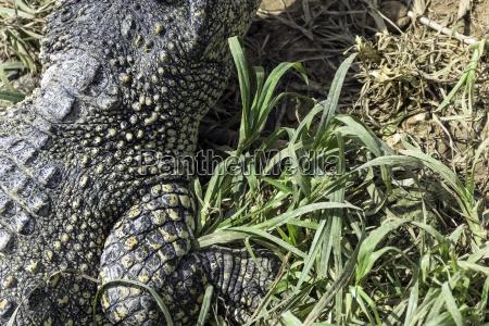 the cuban crocodile crocodylus rhombifer is
