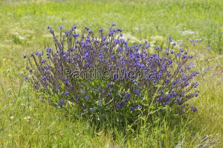 blue flower plant bloom blossom flourish