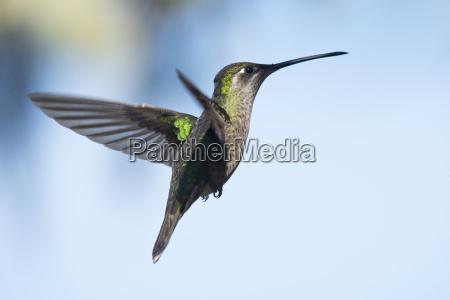 violet clone brilliance hummingbird eugenes fulgens