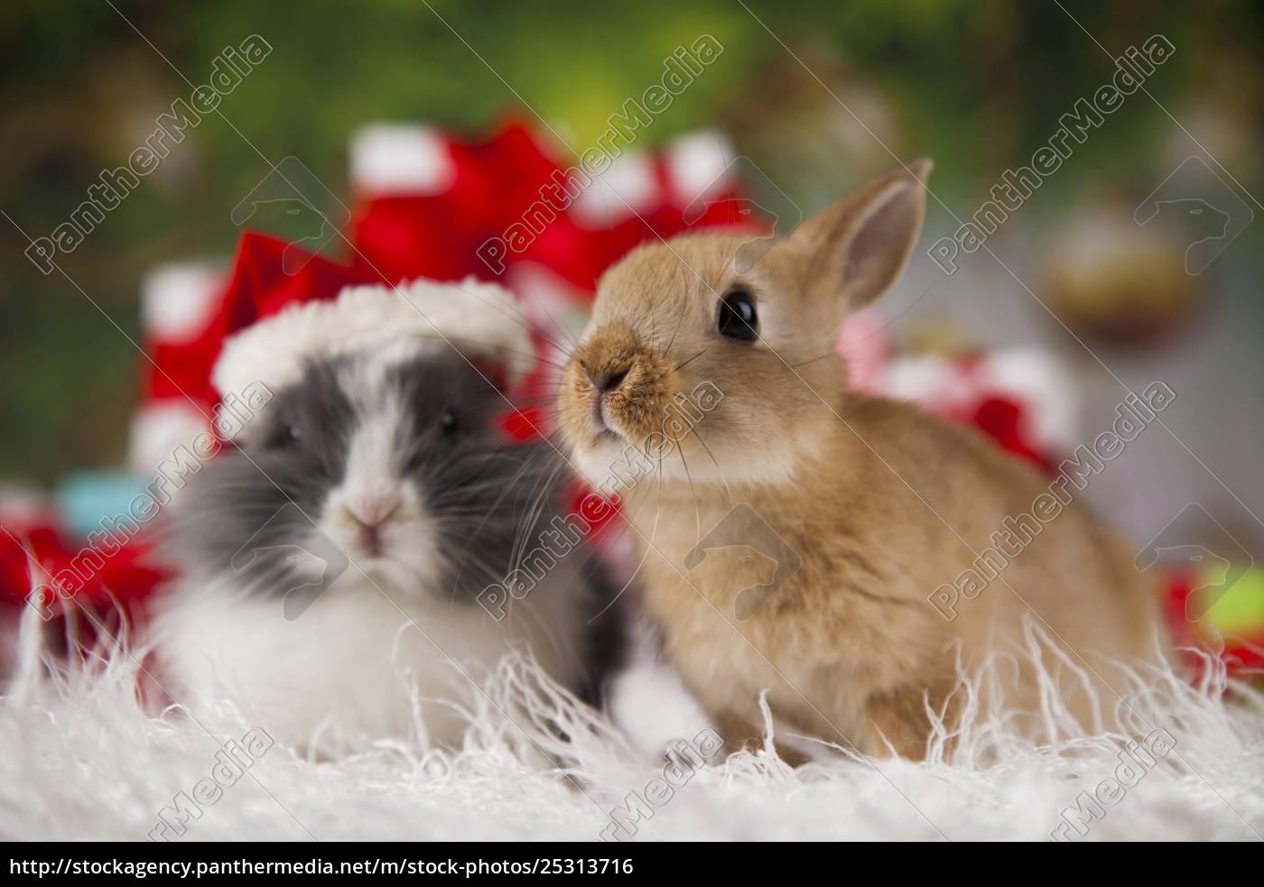 bunny, with, rabbit, , christmas, red, santa - 25313716