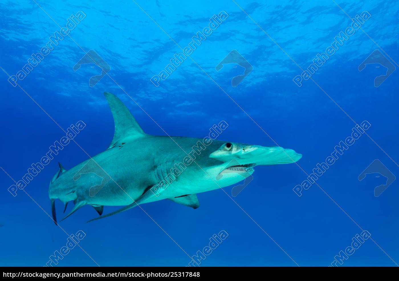 great, hammerhead, shark, (sphyrna, mokarran), bimini, bahamas, central, america - 25317848
