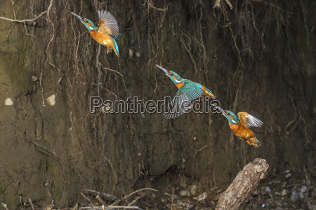 kingfisher alcedo atthis male