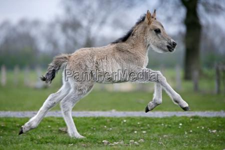 wild horse duelmen foals duelmen north