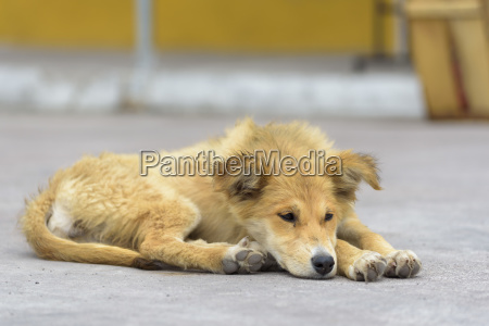 dog canidae lies on road street