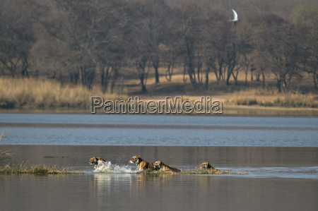 bucolic animal mammal fauna national park