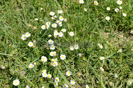 daisies announcing spring