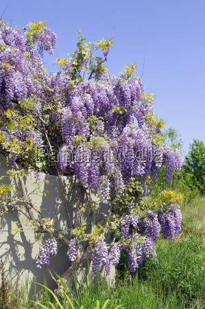 lilac at the entrance of a