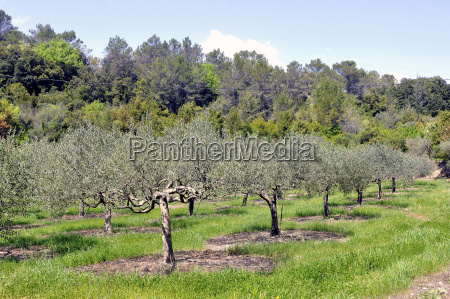 field of olive trees in the