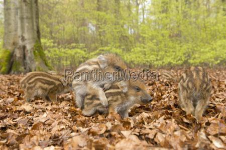 wild boar sus scrofa playing freshlings