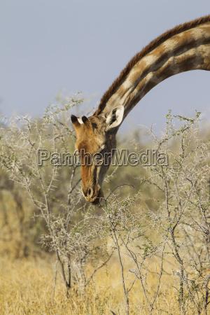 southern giraffe giraffa camelopardalis giraffa female