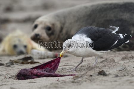 seagull eats from the post birth