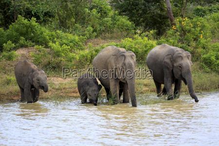 asiatischerelefants19008jpg