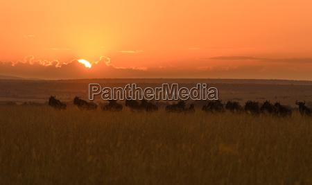 bucolic fauna africa kenya sights sunrise
