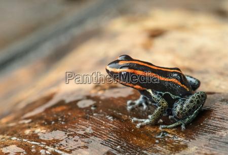 neotropical poison dart frog ranitomeya ventrimiculata