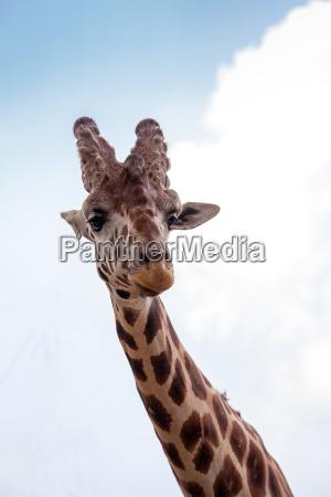curious and friendly reticulated giraffe giraffa