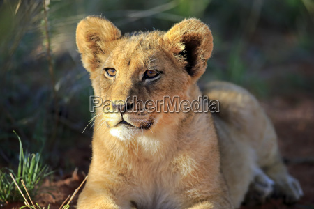 mammal fauna africa lion cat big