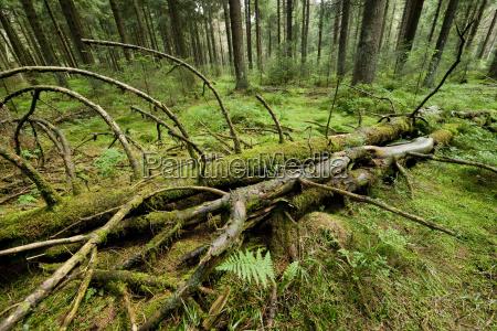 deadwood in spruce forest norway spruce