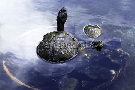 cuban slider trachemys decussata turtle native