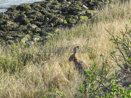 field hare at the water of