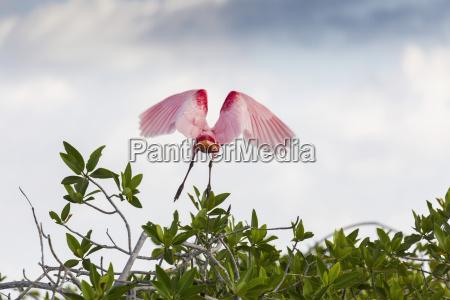 roseate spoonbill platalea ajaja in flight