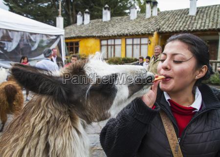 woman, feeding, llamas, in, the, courtyard - 25402848