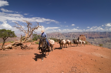 grand canyon arizona usa cowboy leading
