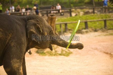 chiang mai thailandelephant playing with a