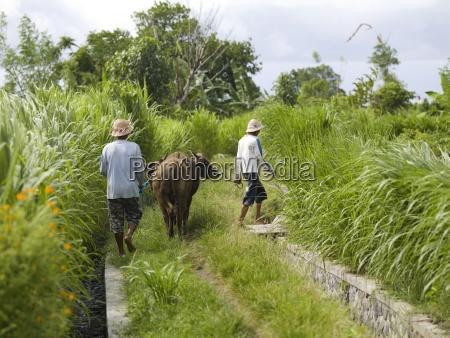 men walking with water buffalo bali