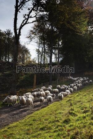 sheep on road northumberland england