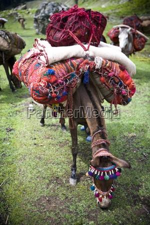 colore animale animali colorato campo india