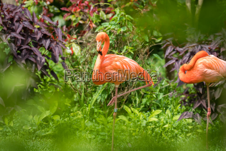beautiful pink caribbean flamingos